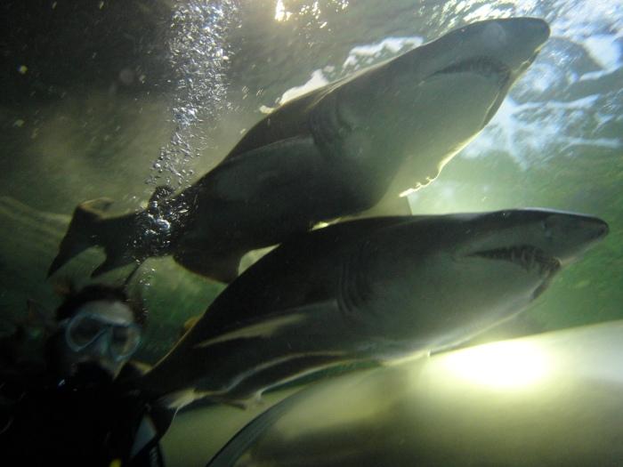 Sharks Sasha Grey