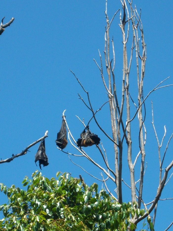 Sasha Grey bats in Australia