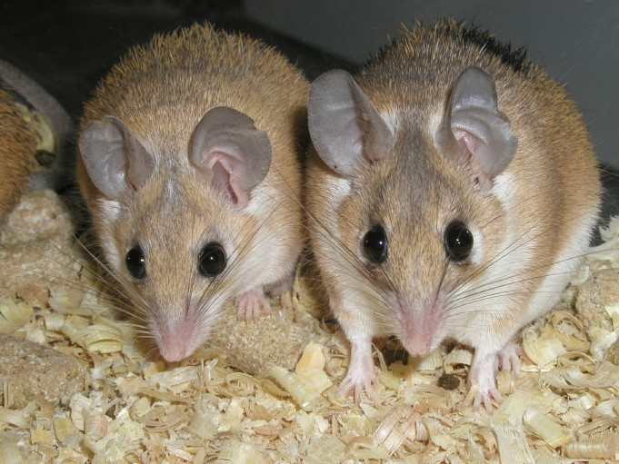 african mice
