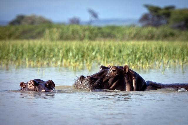 dangerous hippos