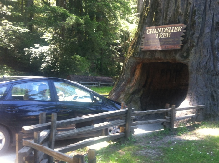 California drive-thru tree