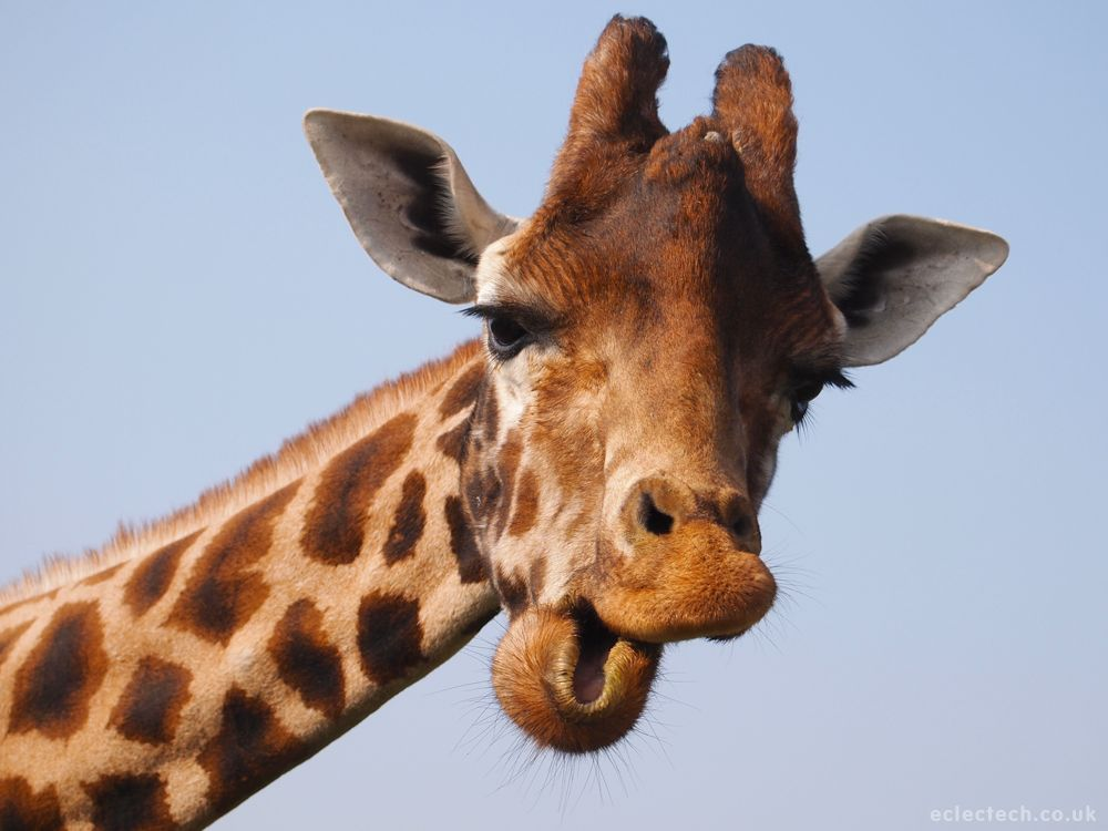 Giraffe-Tongue-Orchestra