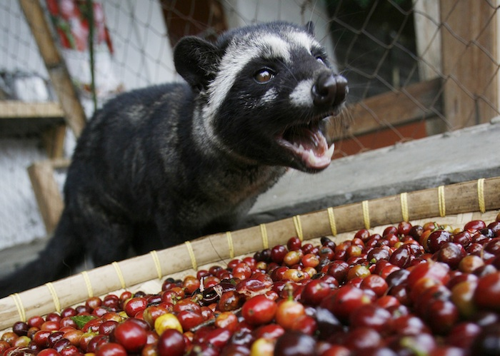 A Palm Civet stands near Arabica coffee cherries in a coffee plantation owned by state plantation firm PT Perkebunan Nusantara XII in Bondowoso, in Indonesia's East Java province June 27, 2009. The fruits are fed to civets bred in cages and their droppings collected to make a brew enriched by the civets' stomachs that sell for as much as $770 a kg in London. Picture taken June 27, 2009. To match Reuters Life! INDONESIA-COFFEE/  REUTERS/Sigit Pamungkas (INDONESIA - Tags: BUSINESS AGRICULTURE ANIMALS) - RTR2HLBT
