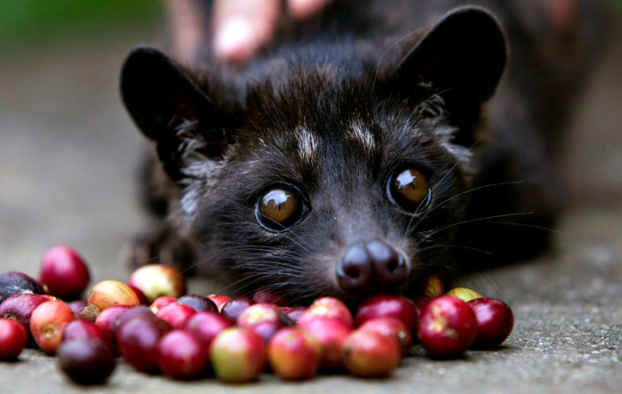 A four month old Luwak is tempted by some red coffee beans at the BAS Coffee plantation January 20, 2011 in Tapaksiring, Bali, Indonesia. The Luwak coffee is known as the most expensive coffee in the world because of the way the beans are processed and the limited supply.  The Luwak is an Asian palm civet, which looks like a cross between a cat and a ferret.  The civet climbs the coffee trees to find the best berries, eats them, and eventually the coffee beans come out in its stools as a complete bean. Coffee farmers then harvest the civet droppings and take the beans to a processing plant. Luwak coffee is produced mainly on the islands of Sumatra, Java, Bali and Sulawesi in the Indonesian Archipelago, and also in the Philippines.