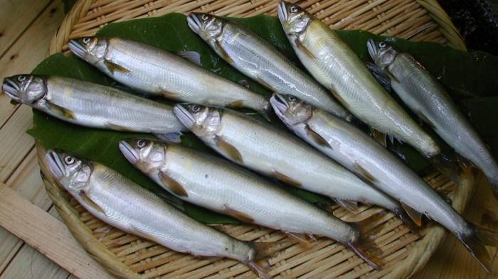 Ayu fish