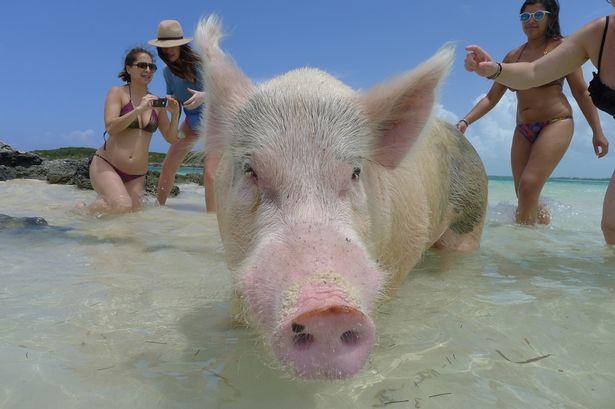 bahamas-pig-beach