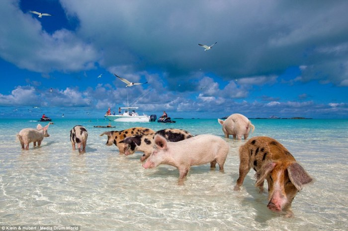 pig-beach-poison-controversy