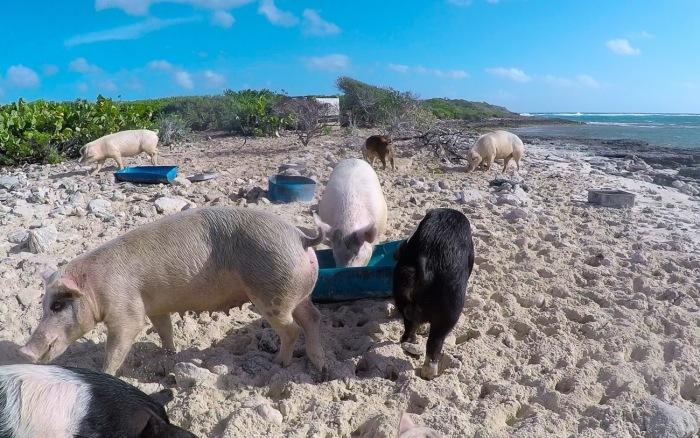 pig-island-exuma-bahamas