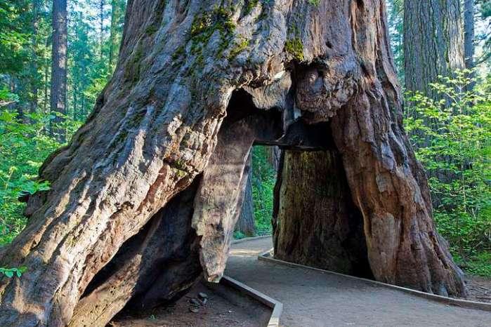 calaveras state park redwood tree falls