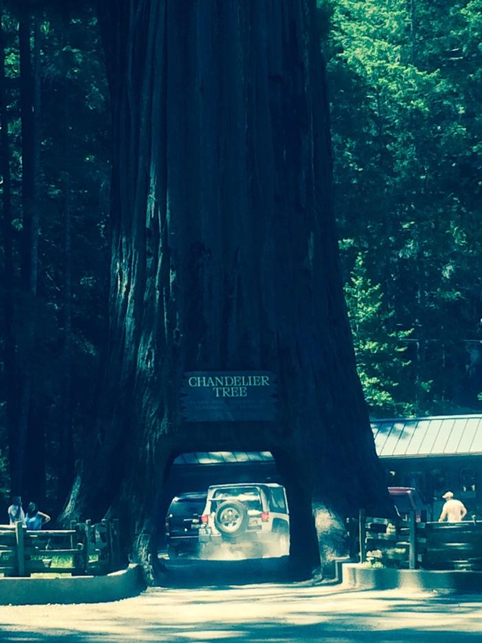 california-chandelier-drive-thru-tree