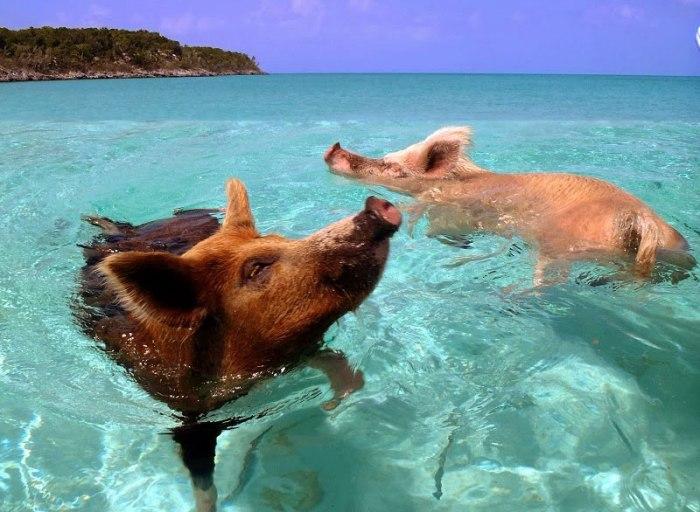 swimming_pigs_bahamas-getaway